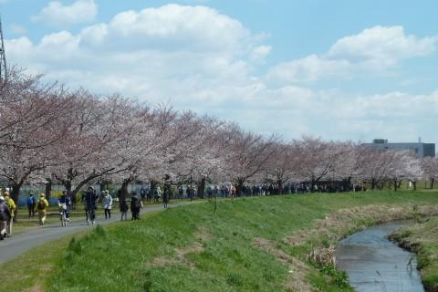 「大堀川の桜を楽しみに」 7km 自由歩行