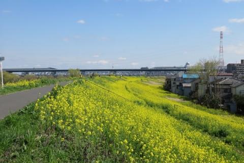 「江戸川の菜の花」 11km 自由歩行