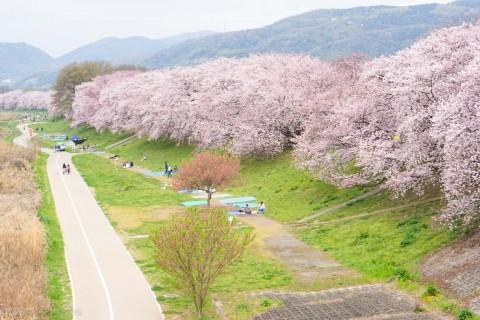 関西随一の咲き誇る壮大な桜、背割堤と淀の河津桜 お花見ラン42キロ【サトウ練習会】