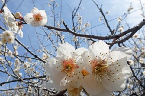≪ランde観光≫日本遺産[京都・奈良]月ヶ瀬梅紀行【レベル6】 観光ラン