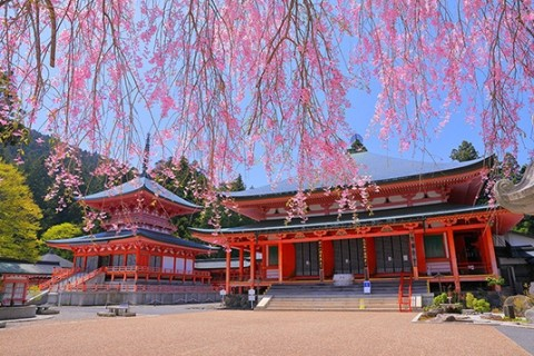 豪華な八重桜の競演。比叡山延暦寺お花見ラン30キロ【サトウ練習会】