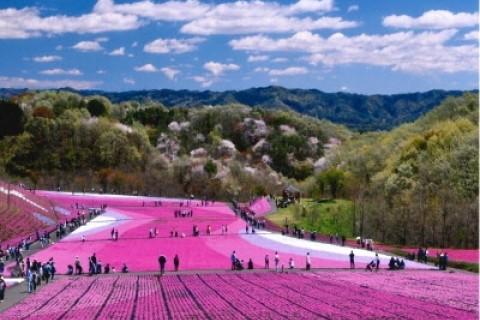 美しいピンク色の芝桜じゅうたん!市貝町お花見ゆるラン♪(*゚∀゚人゚∀゚*)