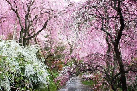 桜を満喫!古都京都の珠玉のお花見ラン名所めぐり 28キロ【サトウ練習会】