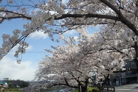 悠久の京都 桜めぐりフォトラリー