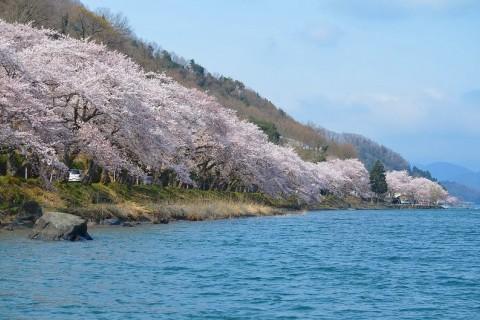 壮大な桜のトンネル 絶景・海津大崎お花見ラン 35キロ【サトウ練習会】