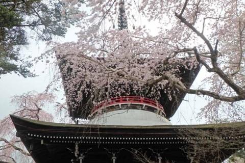 ≪ランde観光≫[奈良]建国の地より吉野へ!桜詣ラン【レベル4】 観光ラン