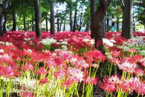 祖光院の「彼岸花」 7km 自由歩行